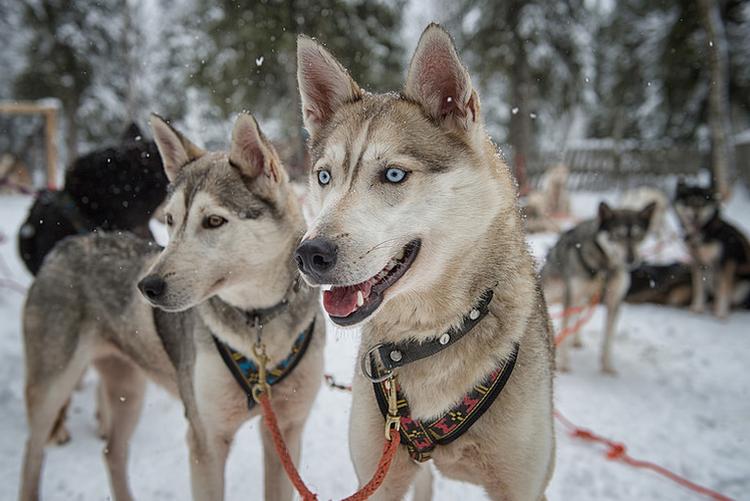 Аляскинские хаски порода