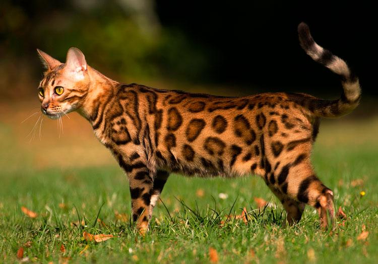 Порода кошек бенгальская