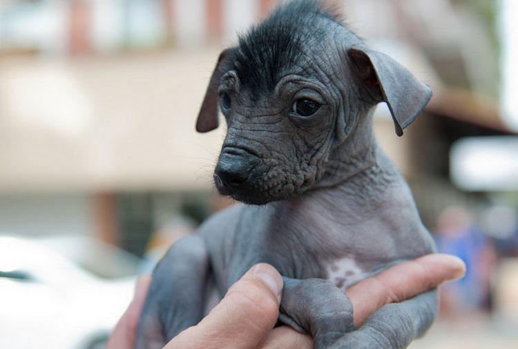 Мексиканская голая собака щенок