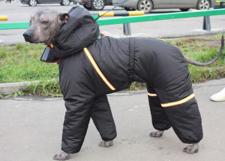 Мексиканская голая собака комбинезон