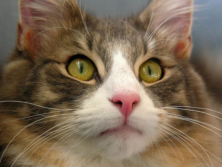 красивая Норвежская лесная кошка