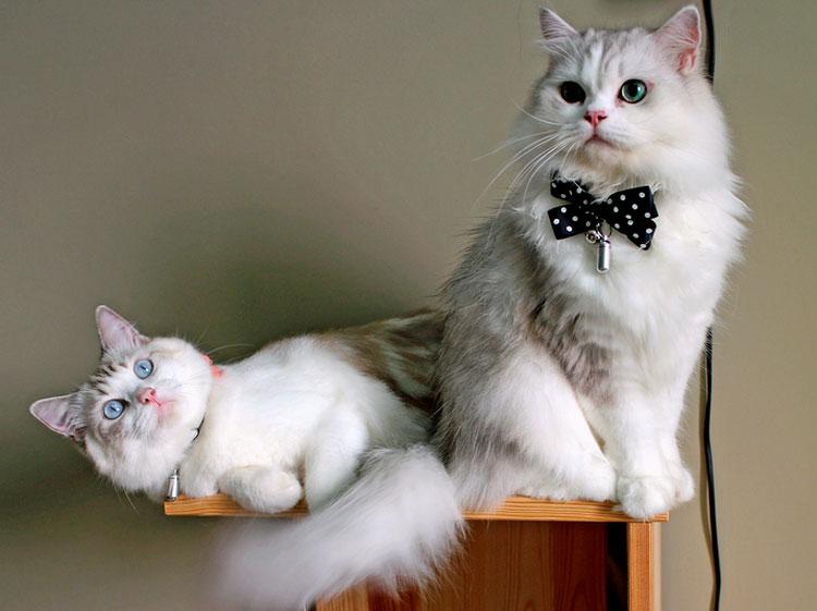кошка и кот рагамаффины
