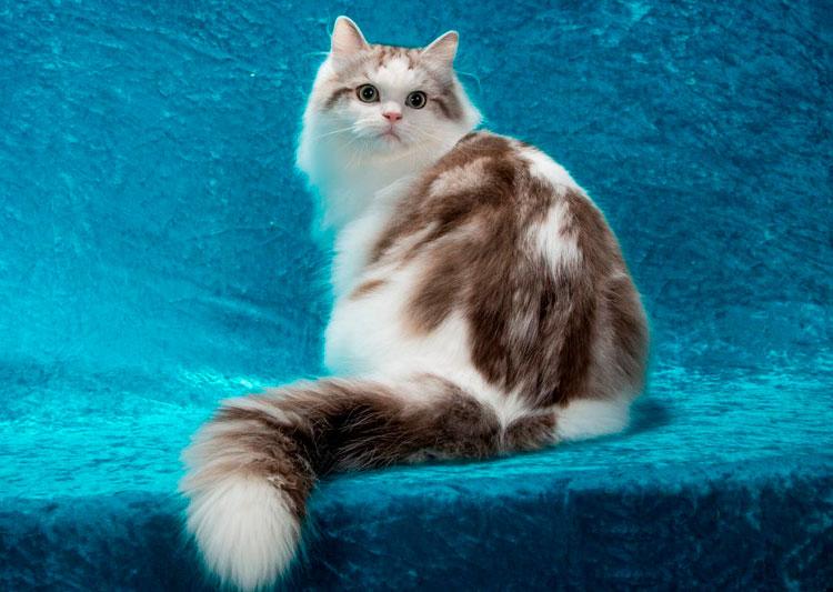 выставка кошек рагамаффин