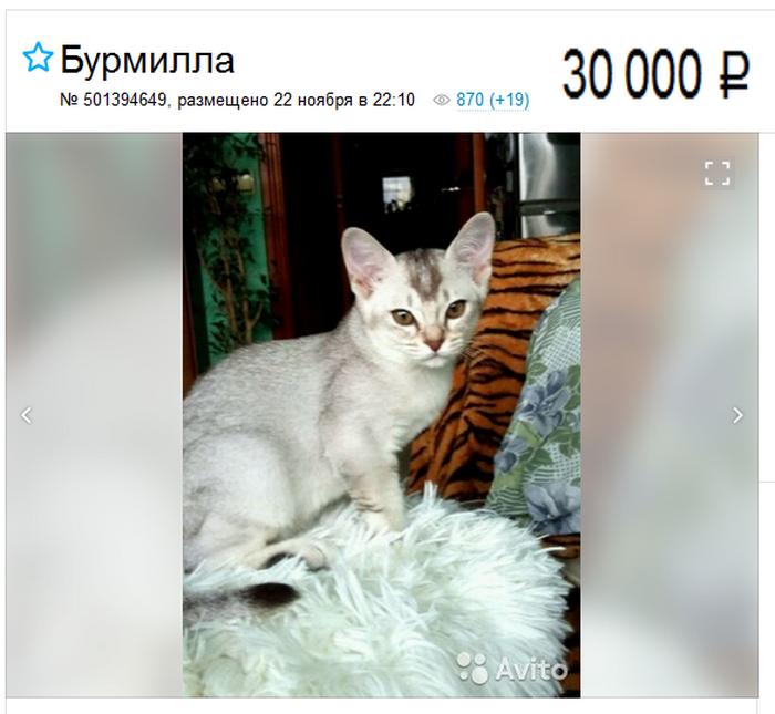 цена на котенка бурмиллу