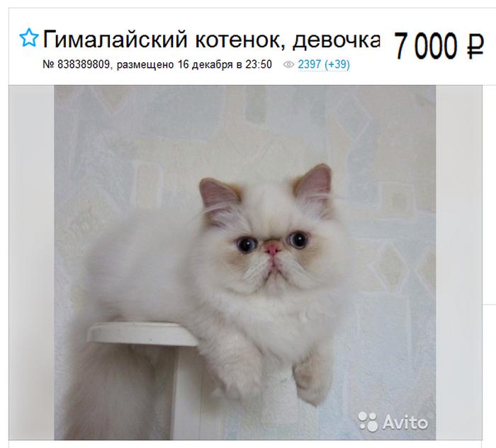цена на гималайскую кошку
