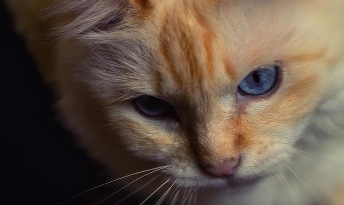Бирманская кошка с рыжим окрасом