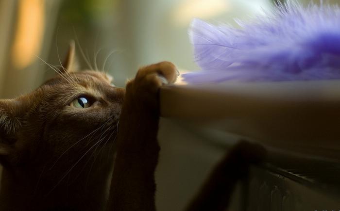 абиссинская кошка на фото