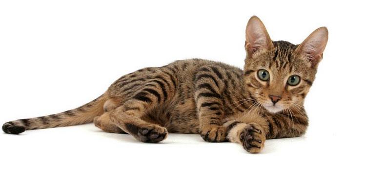 котенок породы Серенгети