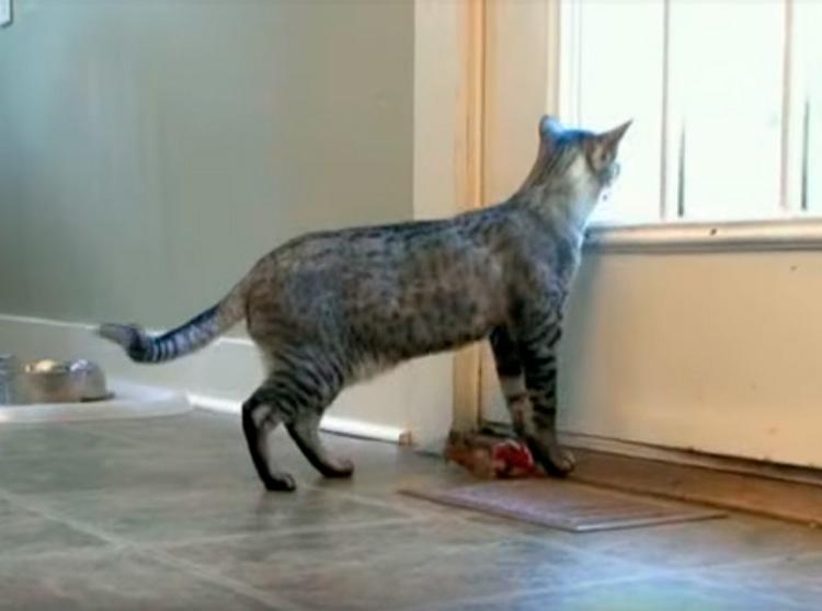 кот Серенгети в доме
