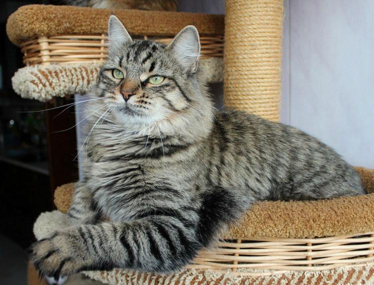 Сибирский кот табби