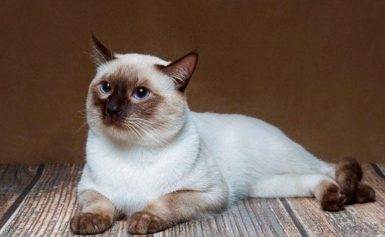 тайская кошка колорпойнт