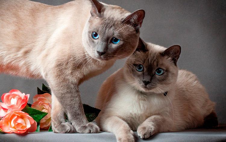 тайский кот и кошка