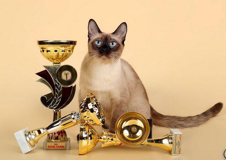 тайский кот чемпион