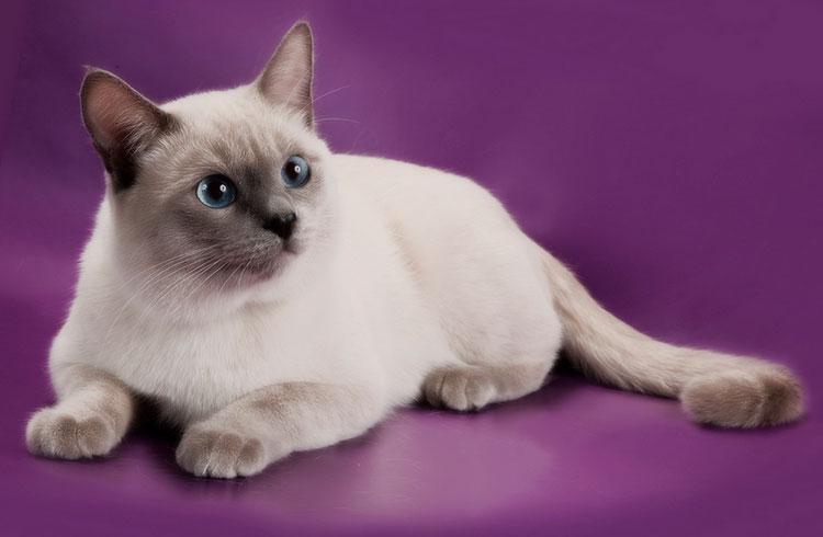 порода тайская кошка