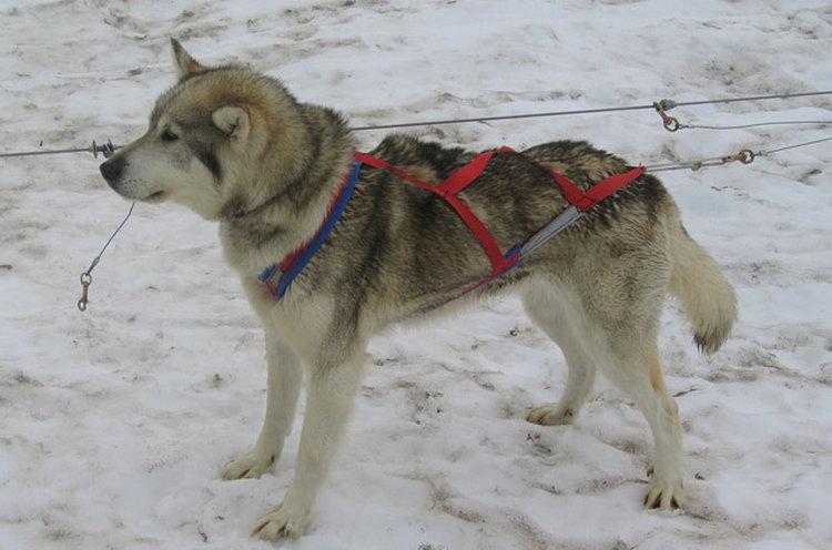 порода собак Аляскинские хаски