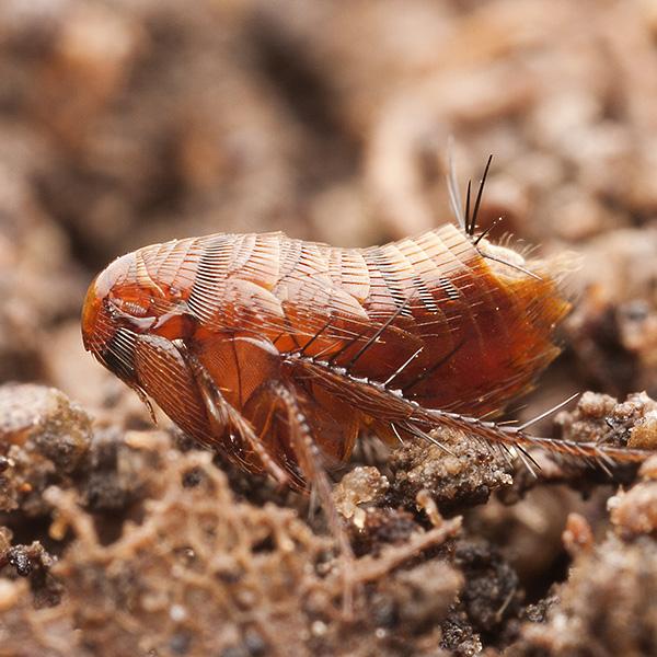 как вывести паразитов с помощью чеснока