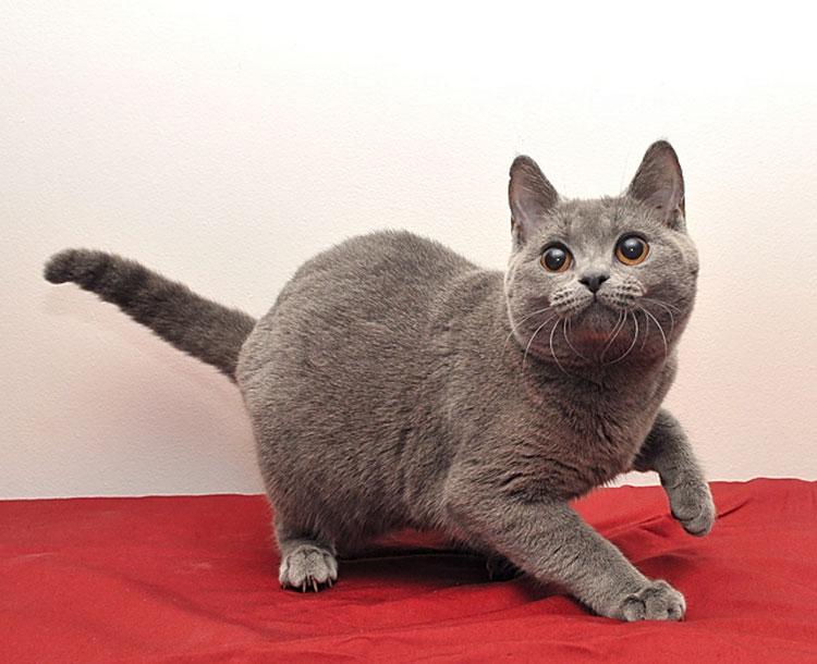 фото Картезианской кошки