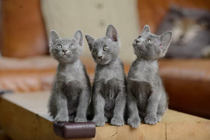 котята породы Корат