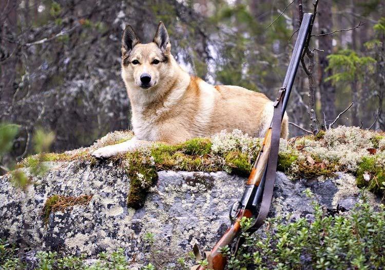 лайка на охоте