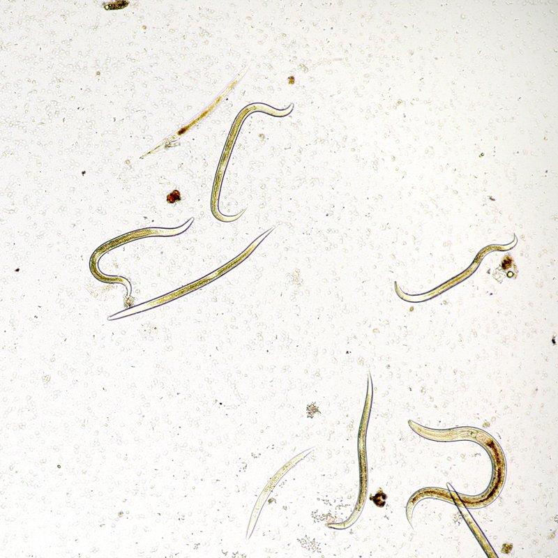 Нематоды - паразиты у кошек