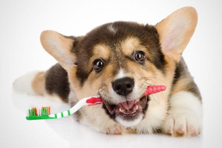 Вельш-корги с зубной щеткой