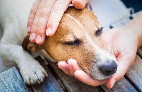 фото чумка у собак