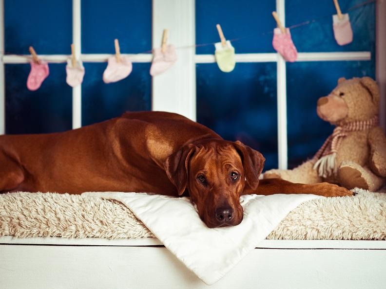 Чем кормить беременную собаку?