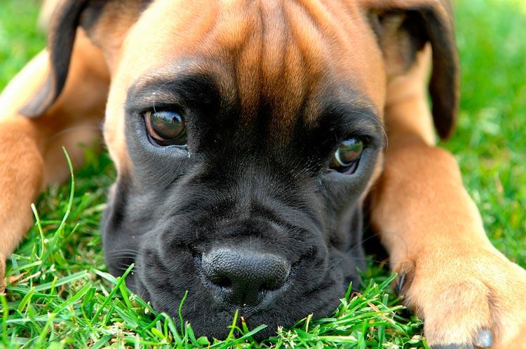 щенок боксера
