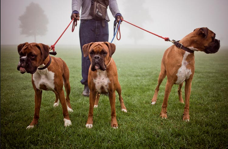 три собаки боксера