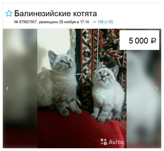 стоимость балинезийской кошки