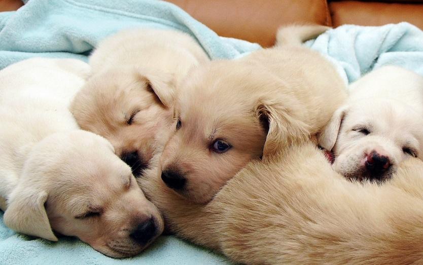 Щенки и родившая собака