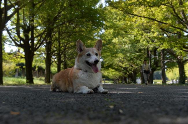 порода собак вельш-корги пемброк