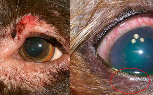 блефарит с кератоконъюнктивитом у собаки