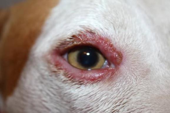 воспаление века у собаки