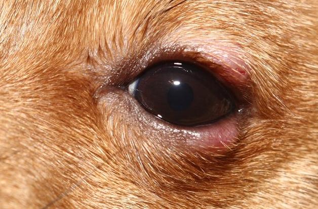 симптомы блефарита у собаки