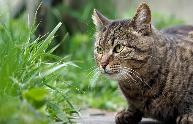 Нужна ли кошкам трава