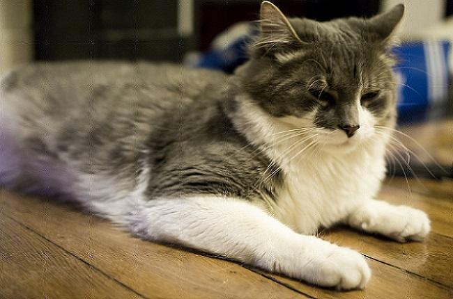 сон кошки в быструю фазу