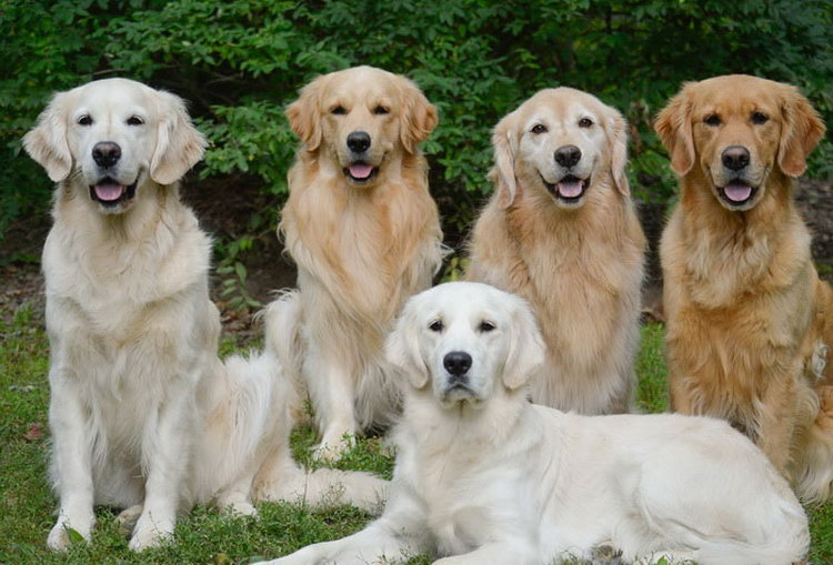 Собаки породы голден ретривер