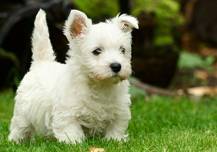 щенок белого терьера