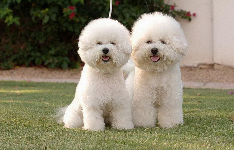 собаки бишон фризе