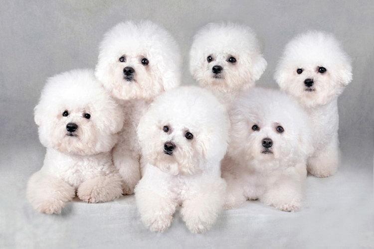 белые щенки бишона