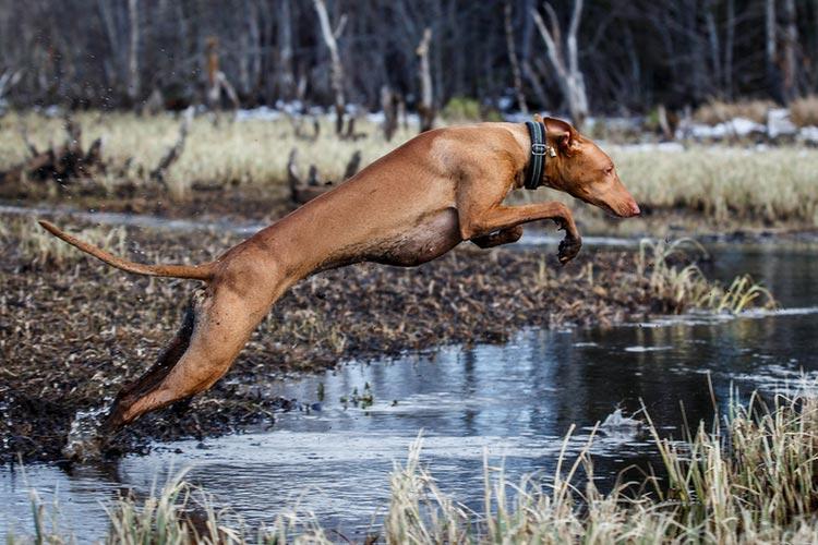 фараонова собака в прыжке