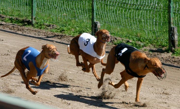 фараоноые собаки бега