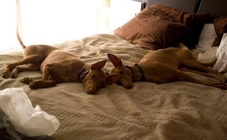 содержание фараоновых собак