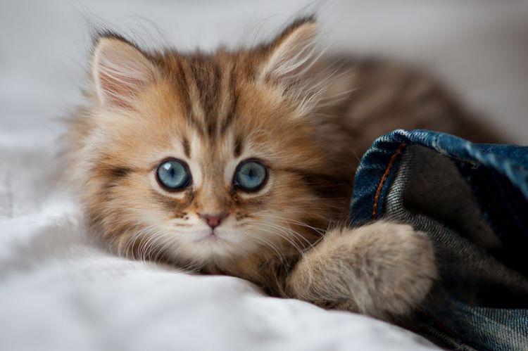 Пушистый котенок с голубыми глазами