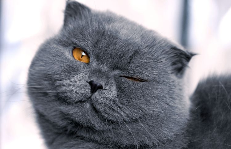 Темно-серый вислоухий кот