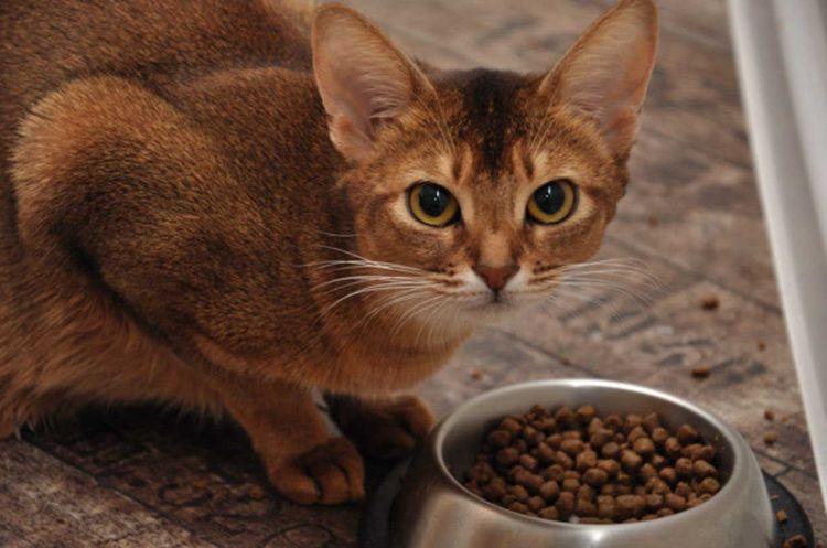 Абиссинская кошка ест сухой корм