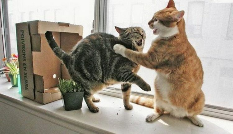 Коты делят территорию