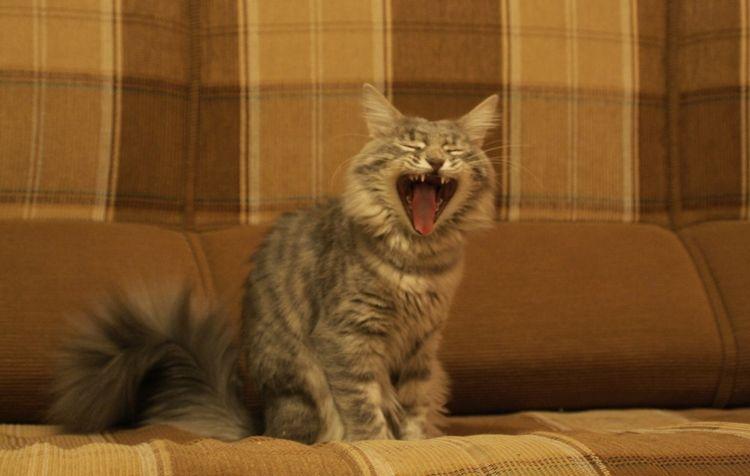 Кот громко мяукает