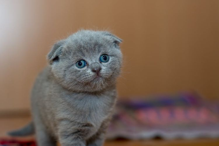 Дымчатый вислоухий котенок